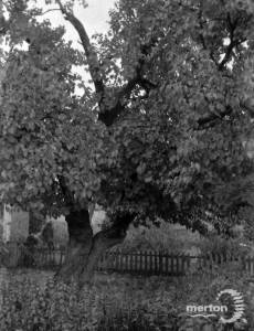 A Mulberry Tree at Merton said to have been planted by Lord Nelson