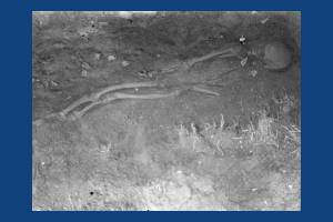 A skeleton discovered at the Anglo-Saxon cemetery near Morden Road