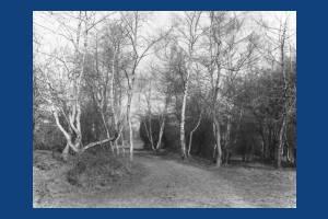 Woodland scene, Wimbledon Common