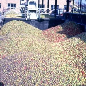 Bulmers Cider Apples, Hereford, 1971