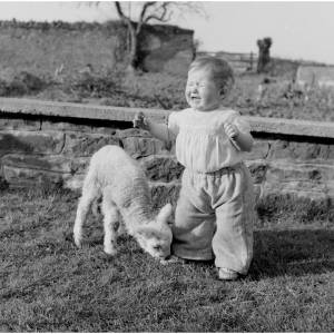 Tiger the lamb nips poor 11 month old Johnnie Gwilt.
